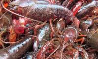 鲜活小龙虾仅16元/斤,崇明生态龙虾养殖基地大三元龙虾免费送上门!当日捕捞,当日送达,保证鲜活!