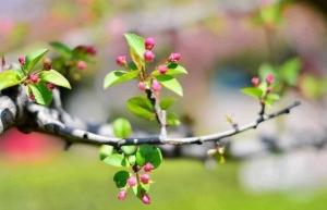 含苞欲放-海棠花